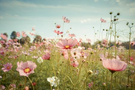 flowers sun: Cosmos flower blossom in garden