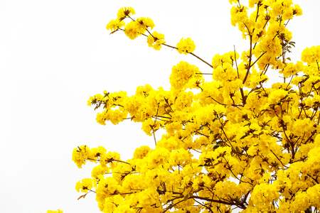 yellow blossom: Yellow tabebuia flower blossom on white background