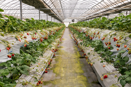 Strawberry cultivation in plant