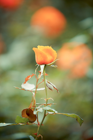 Rose flower in garden