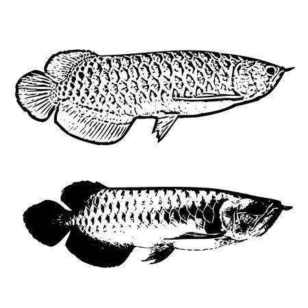 arowana fish Vector for design Illustration