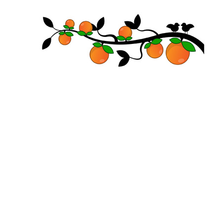 citrus tree: Orange in white background
