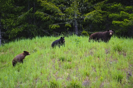 Black Bear Mother and Cubs feeding on grass and clover in the rain. photo