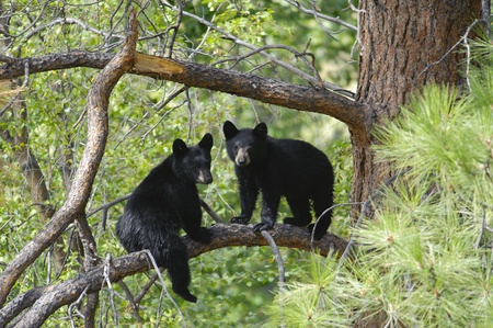 bears: Two Black Bear Cubs Sitting on a Tree Branch up a Pine Tree. Stock Photo
