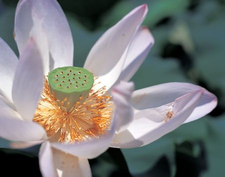 rood: Water Lily