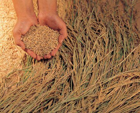 Planta de arroz Foto de archivo - 245736