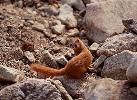 weasel: Weasel Stock Photo