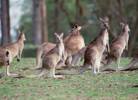 animal pouch: Kangaroo Stock Photo