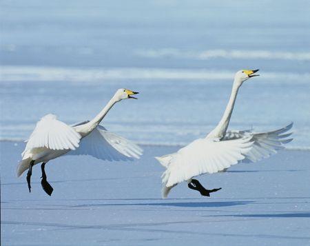 Geese Stock Photo - 266142