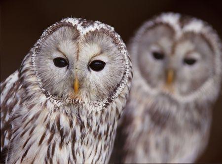 Owl 版權商用圖片