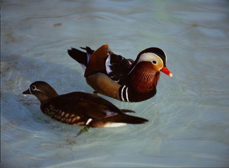Ducks photo