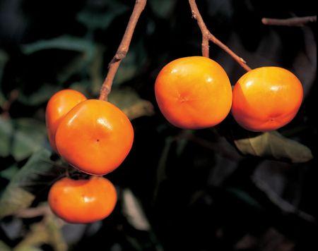persimmon: �rbol de caqui  Foto de archivo