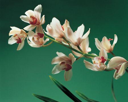 White Orchid 版權商用圖片 - 279254