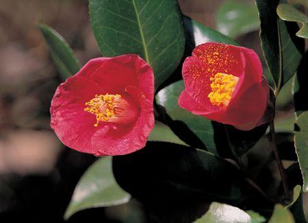 camellia: Red Camelia