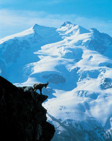 berggeit: Berggeit