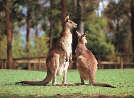 Kangaroos in park