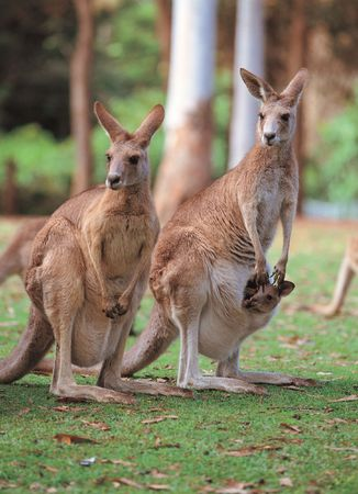 Kangaroos on Ground