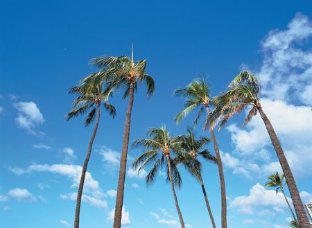Palm Trees photo