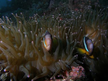 clown fish: Animal Stock Photo