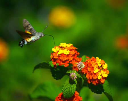Moth eats nectar from the flowers photo