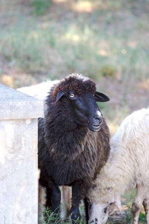 mouton noir: Moutons noirs vous regarder