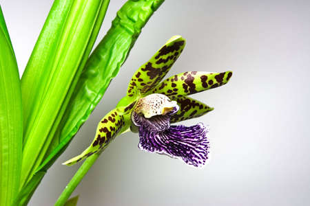epiphyte: Blooming orchid with one cute tiger-striped flower, genus Zygopetalum.