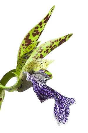 orchid isolated: Blooming orchid with cute tiger-striped flowers, genus Zygopetalum. Stock Photo
