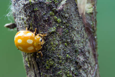poisonous: Closeup of yellow poisonous ladybug in the forest. Copyspace provided.