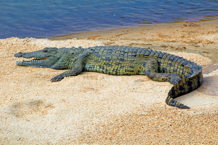 African crocodile on a sandbank in South Africa