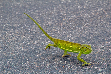 Chameleon on a street in the Kruger National Park, South Africa Stockfoto