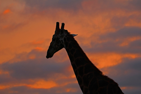 giraffe in front of red cloudy sky n Kruger National Park, South Africa Stockfoto