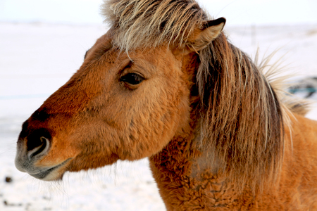 Head of a brown Icelandic horse in winter, Iceland