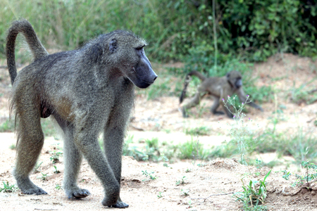 Baboon monkey with cub, Kruger National Park, South Africa