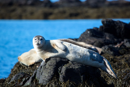 Winking, relaxed seal on stone in Iceland with winterskin Stockfoto - 124810268