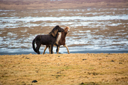 Gambling Icelandic horses on the meadow in winter of iceland