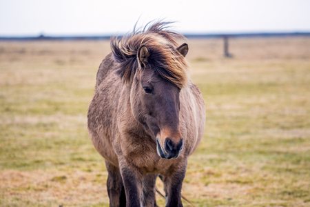 Pregnant Icelandic horse while eating on meadow in the winter of iceland Stockfoto - 124810311