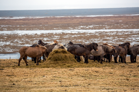 A herd of Icelandic horses eating on meadow in Iceland Stockfoto
