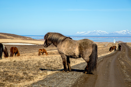 Cozy Icelandic horse on the street in front of beautiful icelandic landscape
