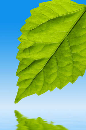 bright green leaf on blue with water