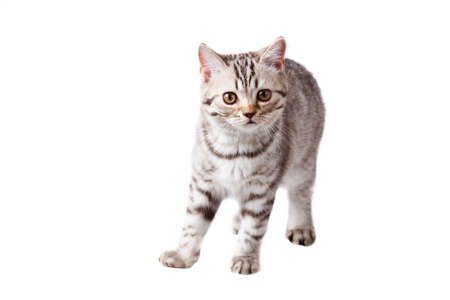 small striped kitten isolated on white Stock Photo - 9743494