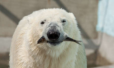 white bear hold fish in jaws Stock Photo