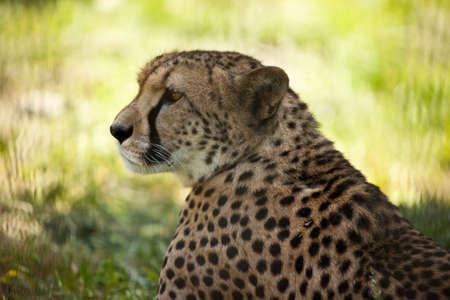 cheetah head side close up portrait photo