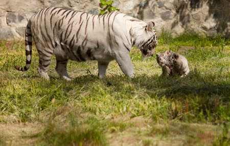 white tiger with her baby animals photo