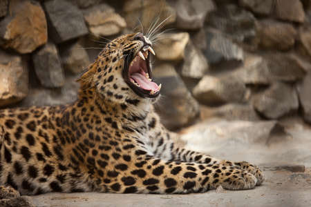 yaw: lopard yaw with jaws wide open Stock Photo