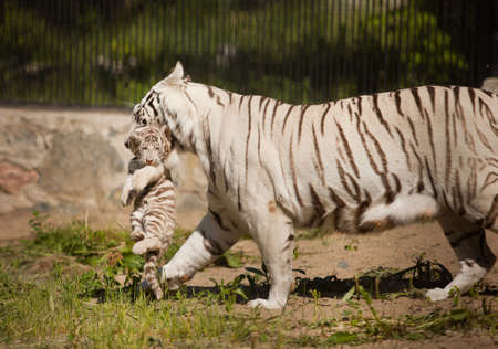 mother tiger carry tiger cub in mouth photo
