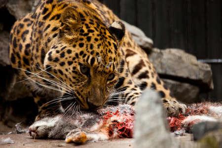 leopard eat bloody rabbit in zoo