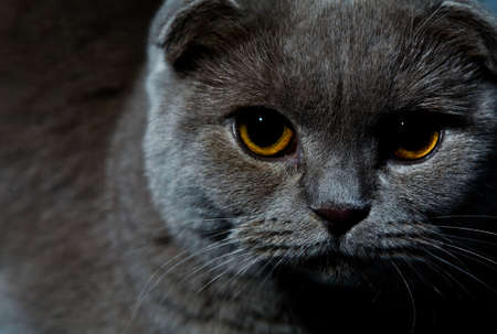 scottish fold angry head portrait, dark photo