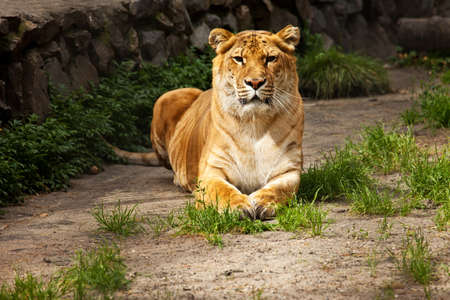 liger lying on ground look on camera Stock Photo