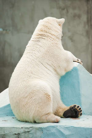 wet bear: white bear sit on bottom