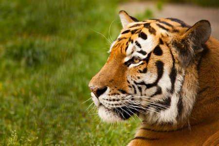 Panthera tigris altaica male face closeup Stock Photo